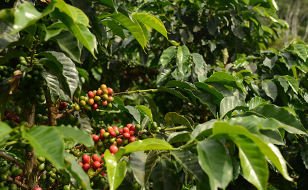 coffee beans wholesale suppliers