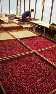 organic green coffee beans for sale